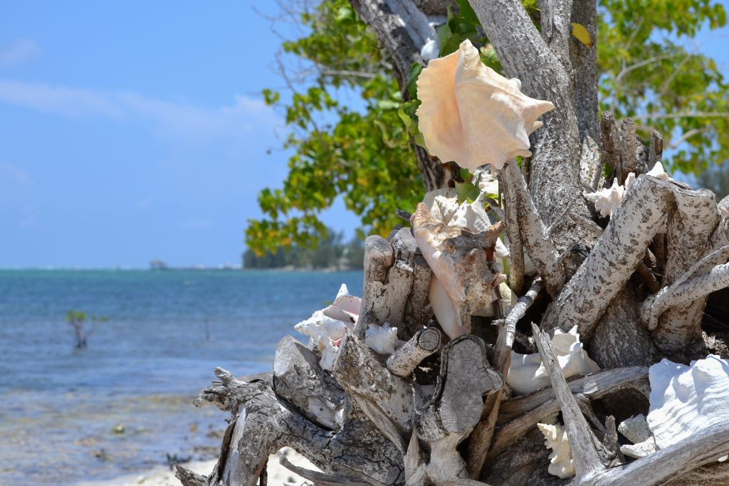 Conch shells on driftwood along the beach in Grand Cayman